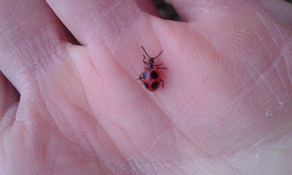False ladybird beetle, Endomychus coccineus