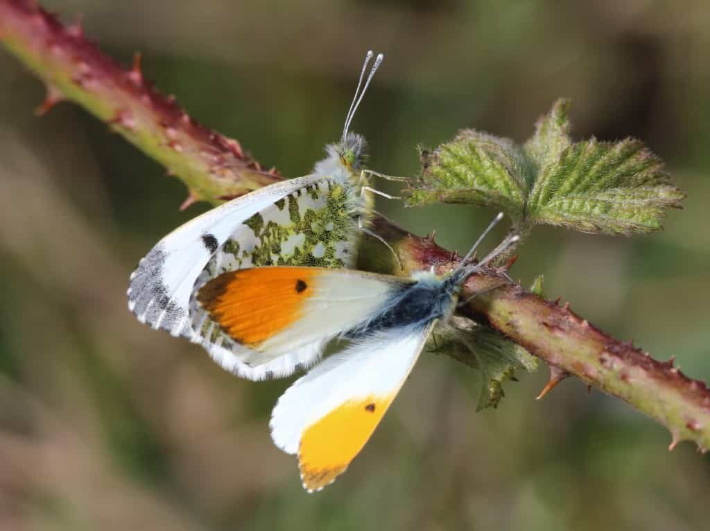 Orange tip pair, Anthocharis cardamines