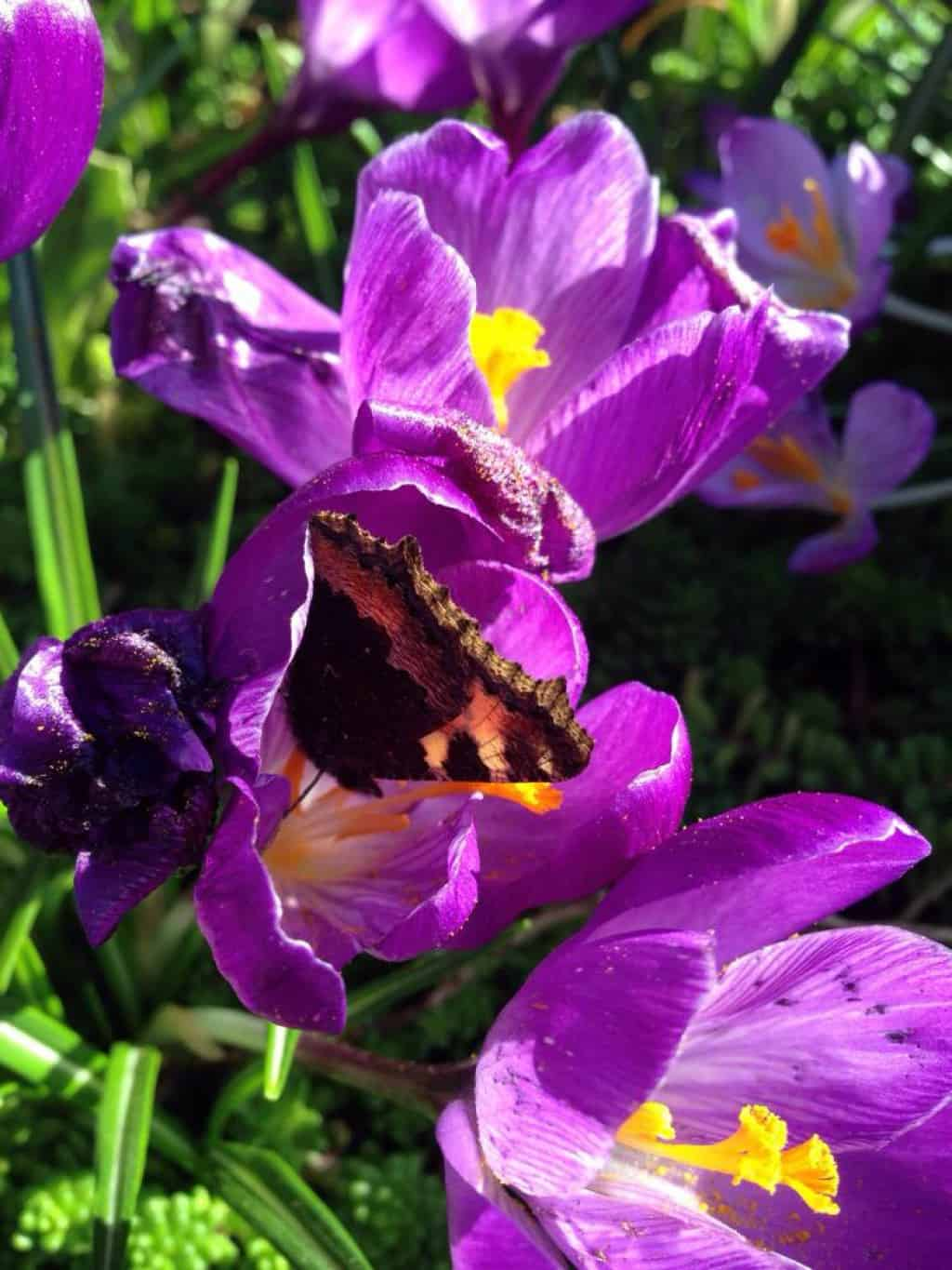 Small tortoiseshell, Aglais urticae in crocus flower