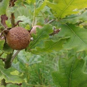 Oak marble gall wasp, Andricus kollari
