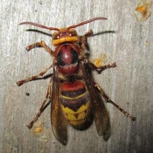 European hornet, Vespa crabro