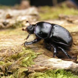 Earth boring scarab beetle, Geotrupes