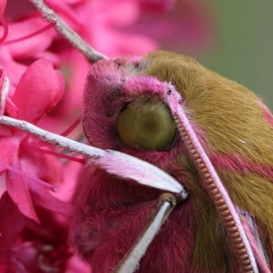 Elephant Hawkmoth close up - Keith Noble