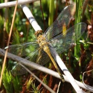 Black darter, Sympetrum danae