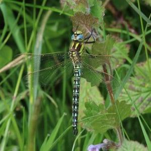 Hairy dragonfly, Brachytron pratense