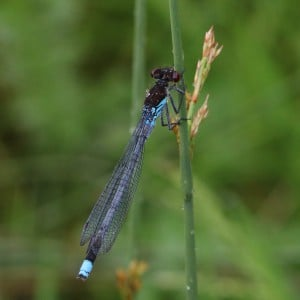 Red-eyed damselfly, Erythromma najas