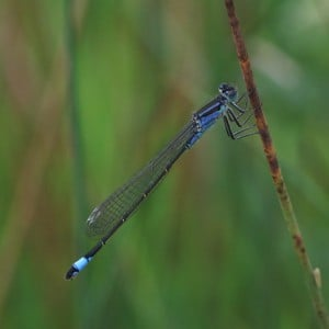 Blue-tailed damselfly, Ischnura elegans