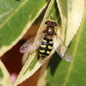 Eupeodes corollae Hoverfly