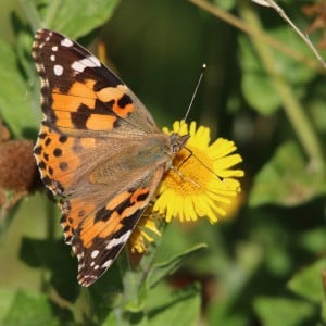 Painted lady (<i>Vanessa cardui</i>)