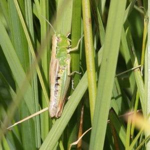 Meadow grasshopper, Chorthippus parallelus