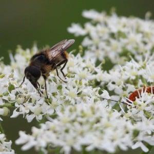 Hoverfly, Cheilosia illustrata