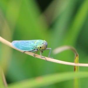 Green leafhopper, Cicadella viridis