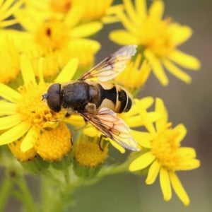 Hoverfly, Eristalis horticola
