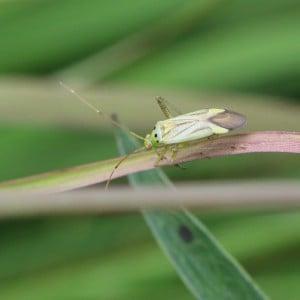 Plant bug, Stenotus binotatus