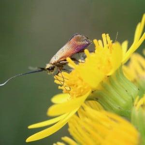 Longhorn moth, Nemophora