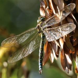 Southern hawker, Aeshna cyanea