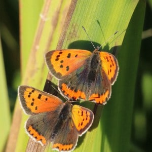Small coppers, Lycaena phlaeas