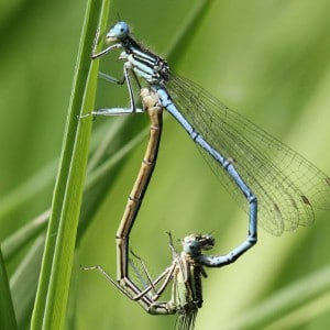 White legged damselfly, Platycnemis pennipes
