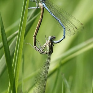 White-legged Damselflies