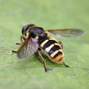 Bog hoverfly, Sericomyia silentis