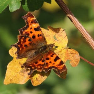 Comma Polygonia c-album.jpg