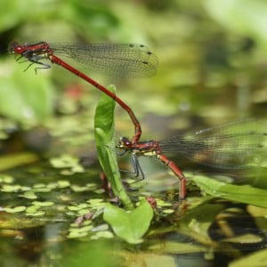 Large red damselflies, Pyrrhosoma nymphula