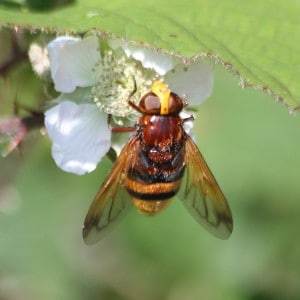 Hornet mimic hoverfly, Volucella zonaria,