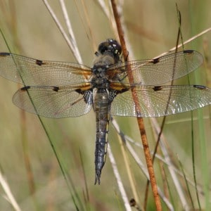 Four spotted chaser, Libellula quadrimaculata