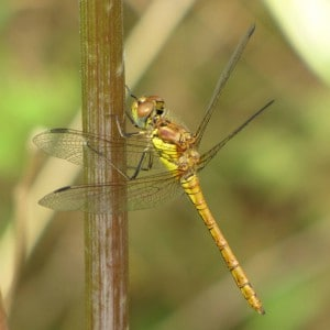 Common darter, Sympetrum striolatum