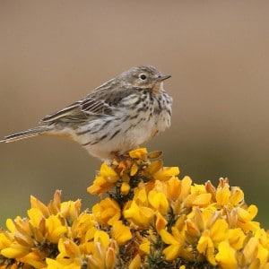 Meadow pippit (<i>Anthus pratensis</i>)