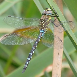 Migrant Hawker, Aeshna mixta