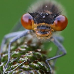 Red-eyed damselfly (<i>Erythromma najas</i>)
