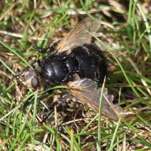 Giant tachinid fly, Tachina grossa