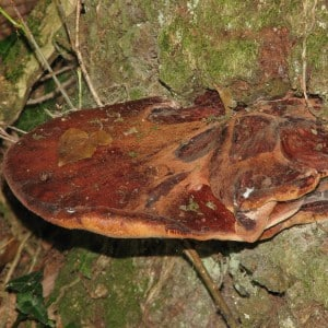 Beefsteak Fungus in Drostre Wood