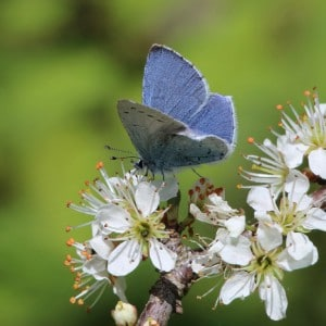 Holly blue (<i>Celastrina argiolus</i>)