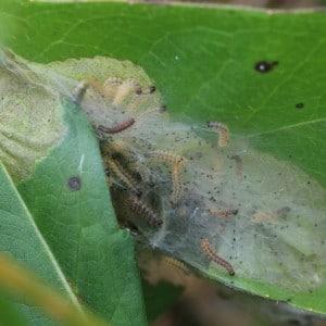 Marsh fritillary, Euphydryas aurinia larval web