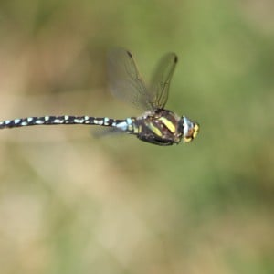 Common hawker, Aeshna juncea