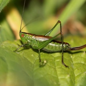 Short winged conehead bush cricket, Conocephalus dorsalis