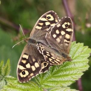 Speckled wood pair (<i>Pararge aegeria</i>)