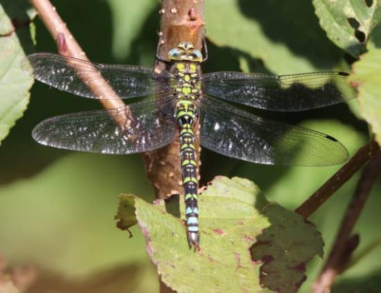 Dragonfly Report for Radnorshire for 2020