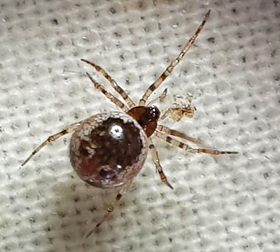 Nationally Scarce Spider spotted in Montgmeryshire